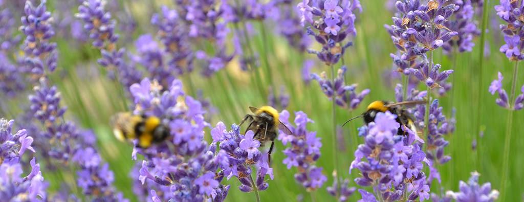 Der duftig frische Lavendel für unsere neuen Lavendel-Geschenk-Ideen und Handarbeiten