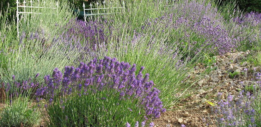 Lavendel in unseren großen Lavendelgarten wächst natürlich ohne Düngung und Pflanzenschutzmitteln. Abonnieren Sie unseren Newsletter Lavendel News.